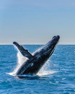 tripadvisor hervey bay recommends whale whatching tours.
